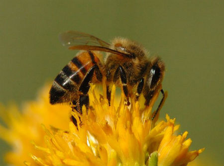 abelhas450